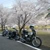 奈良県 下北山スポーツ公園(きなりの郷)で満開の桜を愛でる
